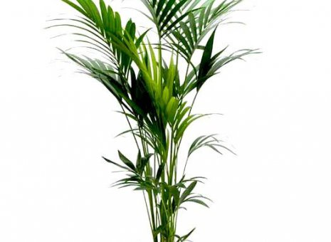 Palm (Kentia)