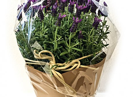 Lavendel (in pot + shopbag)