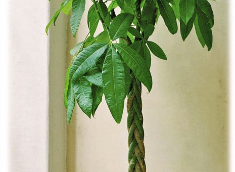 Plant: Moneytree (Pachira Aquatica)